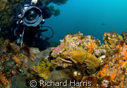 Eel Study. Two morays pose for my buddy at the Poor Knigh... by Richard Harris 